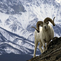 Very Large Dall Sheep Ram On The Grassy by Michael S. Quinton