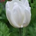 Very Pretty Blooming White Tulip In A Garden by DejaVu Designs