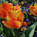 Very Pretty Colorful Yellow And Red Striped Tulip by DejaVu Designs
