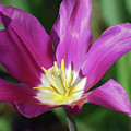 Very Pretty Dark Pink Blooming Tulip With Yellow In The Center by DejaVu Designs