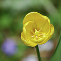 Very Pretty Flowering Yellow Tulip Blooming In A Garden by DejaVu Designs