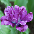 Very Pretty Purple Tulip With Dew Drops On The Petals by DejaVu Designs