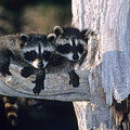 Very Young Raccoons by Larry Allan