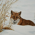 Vexed Vixen - Red Fox by Elaine Booth-Kallweit