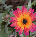 Vibrant African Daisy by Sheila Fitzgerald