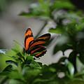 Vibrant Colors To A Orange Oak Tiger Butterfly by DejaVu Designs