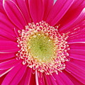 Vibrant Pink Gerber Daisy by Amy Fose