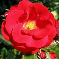 Vibrant Red Rose by Will Borden