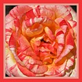 Vibrant Two Toned Rose With Design by Joy Watson