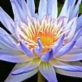 Vibrant White Water Lily by Tisha Clinkenbeard