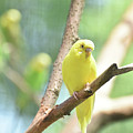 Vibrant Yellow Budgie Parakeet In The Summer by DejaVu Designs