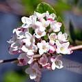 Viburnum Bloom by Debra Bender