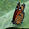 Viceroy 2 by J M Farris Photography