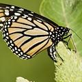 Viceroy Butterfly by Ralf Broskvar