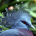 Victoria Crowned Pigeon by Shelly OBrien