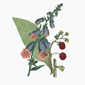Victorian Botanical Illustration Of Foxglove And Common Raspberry by Peacock Graphics
