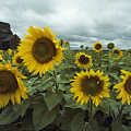 View Of A Field Of Sunflowers by Annie Griffiths