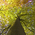 View To The Top Of Beech Tree by Heiko Koehrer-Wagner