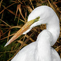 Vigilant Egret by Wes and Dotty Weber