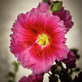 Vignetted Hollyhock by Robert Bales