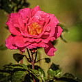 Vignetted  Rose by Robert Bales