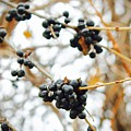 Vignettes - Indigo Winter Berries by Mario MJ Perron