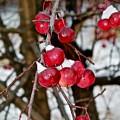 Vignettes - Snow Fruit by Mario MJ Perron