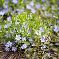 Vinca Violet Purple Clump by Arletta Cwalina