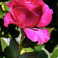 Vincent Red Rose by John Haldane
