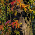 Vine And Hickory by David Foote