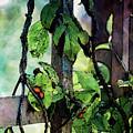 Vine And Trellis Digital Watercolor 4472 W_2 by Steven Ward