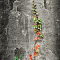 Vine In Autumn by Brian DeWolf