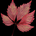 Vine Leaf by Stefania Levi