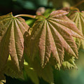 Vine Maple Leaves by Robert Potts