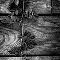 Vine On Barn by Greg Mimbs