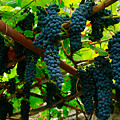 Vines by Gaspar Avila