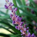 Vines Of Purple by Amanda Vouglas