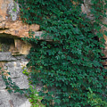 Vines On The Rocks by John Diebolt