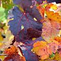 Vineyard In Autumn by Melanie Rainey