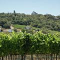 Vineyard In Sebastopol, Sonoma, California by Nicole Freedman