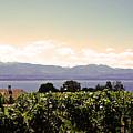 Vineyard On Lake Geneva by Jeff Barrett