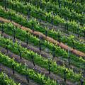 Vineyard Rows - Slovenia by Stuart Litoff