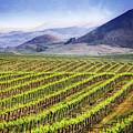Vineyard by Scott Kemper