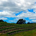 Vineyards In Paso Robles by Janine Moore