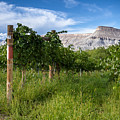 Vineyards In The Grand Valley by Teri Virbickis