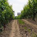 Vineyards Of Old Color by Photographic Arts And Design Studio