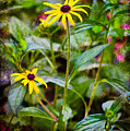 Vintage Black-eyed Susans by Rich Leighton