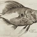 Vintage Fish Print by Antonio Lafreri