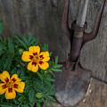 Vintage Garden Tool And Marigolds by Terry DeLuco