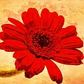 Vintage Gerbera Daisy by Scott Carruthers